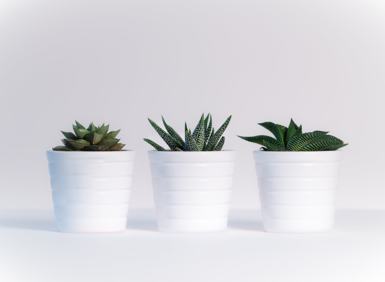 Row of succulents in identical white plant pots